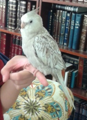 Lost a grey and white cockatiel on Friday July 6, 2018